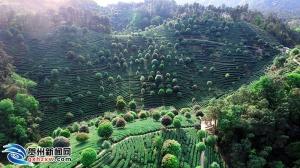 昭平县3家茶企获批使用国家地理标志产品专用标志