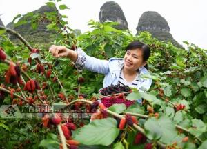 罗城40多亩水果桑葚开园引众多游人采摘(图)