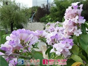 柳州有种粉紫色的植物开花啦!爱拍照的你不该错过