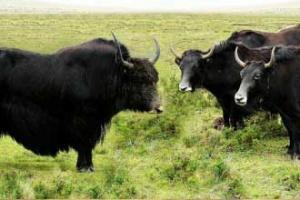 基因交流 牛属物种驯化有大招
