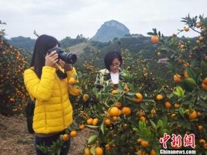 广西柑橘产业力争迈入智能化用手机开启阀门滴灌