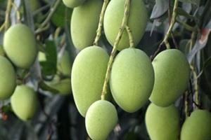 路边种植的绿化芒果能吃吗?这个真不行!