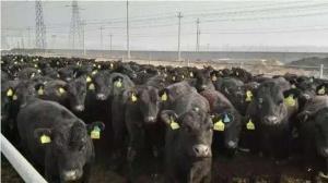 澳大利亚种牛安格斯正式落户农垦金光