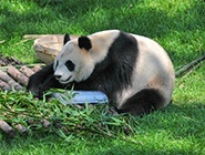 """动物园:大熊猫""""趴冰""""消暑"""
