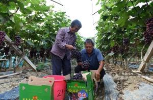 贺州:昭平县葡萄产业成为农民增收致富新亮点