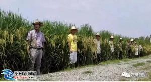 钟山这里种植2米多高的水稻!