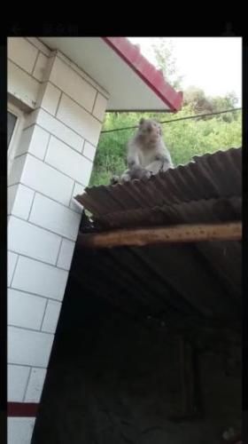 河北滦平发现野生猕猴