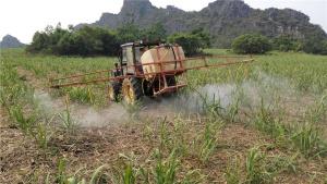 甘蔗按用途可分为果蔗和糖蔗。