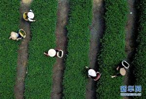 福建:茶旅结合 助农增收