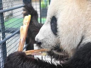 """""""闯关东""""大熊猫返乡并计划""""生娃"""""""