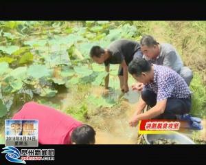 昭平县:稻田多用 拓宽群众致富门路