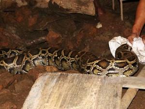 8月28日焦点图:蟒蛇贪吃被抓 吐出四只鸭子