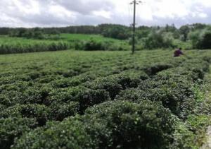 三隆镇三角浪村的茶叶种植
