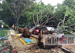 三棵大树倒下砸中三辆小车 市政人员:树根太浅