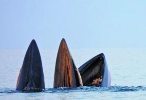 焦点图:北海涠洲岛海域3头鲸鱼同时张开大嘴捕食