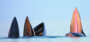 焦点:北海涠洲岛海域3头鲸鱼张开大嘴捕食