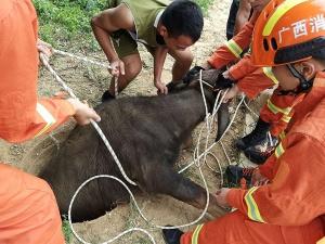200多斤水牛跌进小口井 消防员手抬救出(组图)