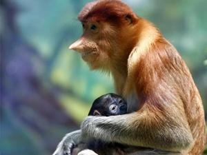 广州长隆成功繁育珍稀大鼻猴