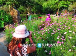 桂林喜迎八方来客 长假首日穿山花海受青睐(图)