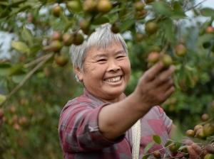 贵州玉屏:油茶之乡采摘忙
