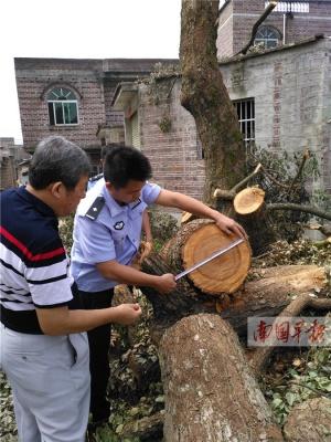 桂林市平乐县一男子砍伐百年樟树被刑拘