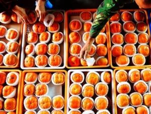 秋收时节甜柿熟