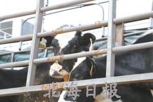 3862头进口种奶牛抵达北海