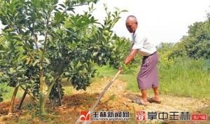 花甲老人不服老 投60万造60亩新果林