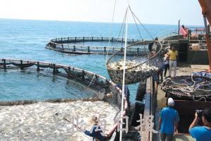 北海铁山港区金鲳鱼养殖迎来好收成