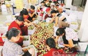 电商进村果飘香 ——北流水果产业发展探访