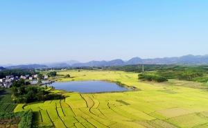 高清:金秋田园美 融安晚稻进入成熟收割期