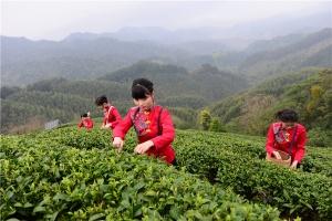 昭平:茶香助脱贫 绿色新崛起