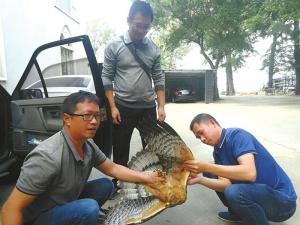 北海军民携手护鸟,受伤凤头蜂鹰获救