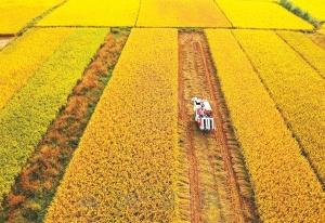 北海合浦县44万亩晚稻迎来收获季