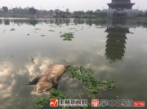 煞风景!玉林园博园玉东湖惊现死猪(图)