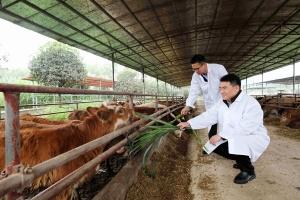 桂林平乐发展生态养牛助当地群众增收致富(组图)