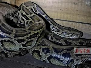 5公斤大蟒蛇山上晒太阳 上山种树村民被吓一跳