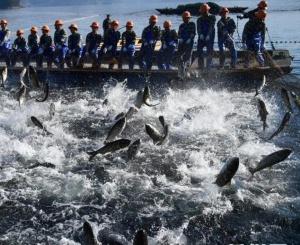浙江千岛湖:巨网捕鱼