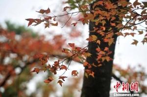 广州石门国家森林公园3000亩红叶迎寒生姿(组图)