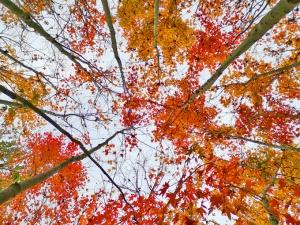 三江:色彩斑斓枫叶迎风摇曳 红枫美景引客来(图)