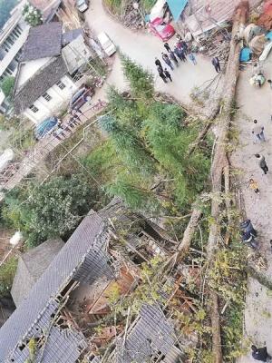 """古树倒下毁民房 防护还需""""未雨绸缪"""""""
