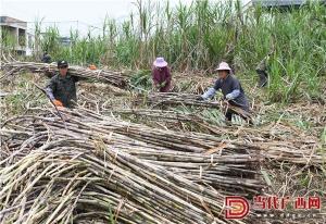 广西罗城蔗糖新榨季正式开榨