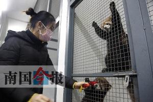 柳州动物园成功繁育小熊猫 4只萌宝宝亮相(图)