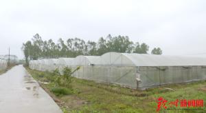钦州��做好蔬菜防寒保暖 保障市场供应需求