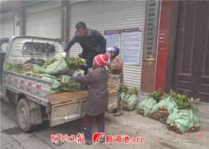 南丹城关免费向贫困户发放1.5万株油茶苗