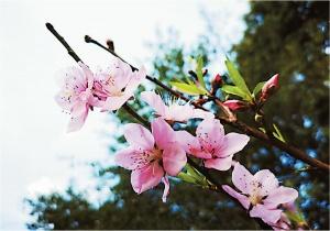 樱花桃花齐盛开 春节期间南宁最高温或超20℃(图)