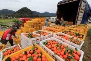 高清:融安果农抢摘蜜桔供应春节后市场