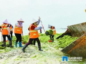 """银滩再遇绿藻""""侵袭"""" 市海洋局:对人类无害"""