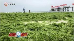 """大规模绿藻来袭 广西北海银滩""""被绿""""了"""