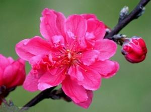 绵绵春雨润桃花
